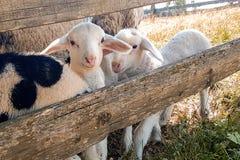 Behandla som ett barn lamm i fältet royaltyfri fotografi