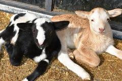 Behandla som ett barn lamm på lantgården Royaltyfri Bild
