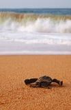 Behandla som ett barn leatherbacksköldpaddan Arkivfoto