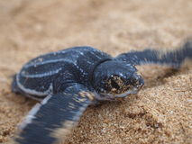 Behandla som ett barn leatherbacksköldpaddan Royaltyfri Bild