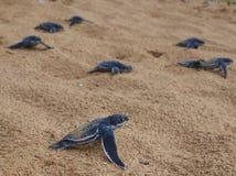 Behandla som ett barn leatherbacksköldpaddor Arkivbild