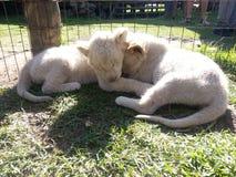 Behandla som ett barn lejon Royaltyfria Bilder