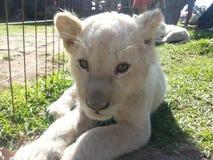 Behandla som ett barn lejonet Arkivfoton