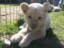 Behandla som ett barn lejonet Royaltyfri Foto