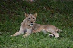 Behandla som ett barn lejonet Arkivfoto