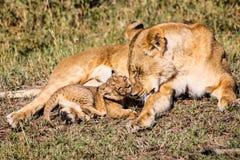 Behandla som ett barn lejonet med modern Arkivbilder