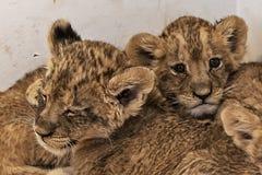 Behandla som ett barn lejoninnor 2 Arkivbilder