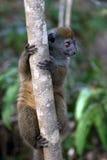 behandla som ett barn lemuren Arkivbilder