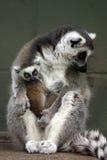 behandla som ett barn lemuren Royaltyfria Foton