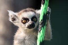 behandla som ett barn lemuren Arkivfoto