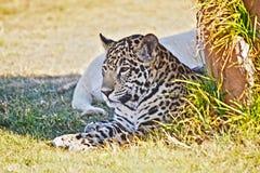 Behandla som ett barn leoparden Arkivfoto