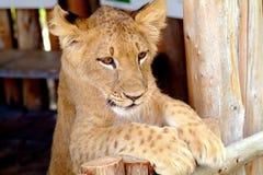 Behandla som ett barn lion 6 arkivbilder
