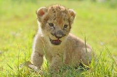 behandla som ett barn lionen Royaltyfri Bild
