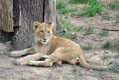 behandla som ett barn lionen Arkivfoto