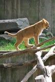 behandla som ett barn lionen Arkivfoton