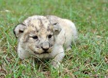 behandla som ett barn lionen Fotografering för Bildbyråer