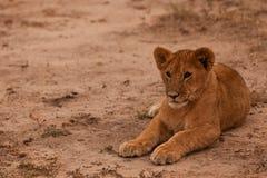 behandla som ett barn lionen Royaltyfri Fotografi