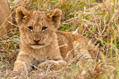 Behandla som ett barn lionen Royaltyfria Bilder