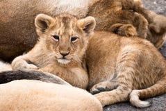behandla som ett barn lionen Royaltyfria Foton