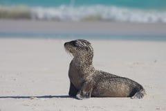 behandla som ett barn lionen poserar det sandiga havet Arkivbild