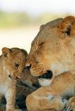 behandla som ett barn lionessen Arkivbild
