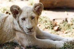 behandla som ett barn lionwhite Fotografering för Bildbyråer