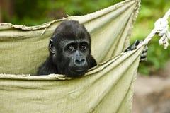 Behandla som ett barn lite gorillan Arkivbild