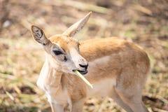 Behandla som ett barn lite hjortar äter gräs Royaltyfri Foto