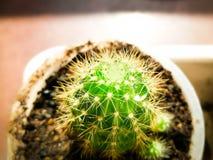 Behandla som ett barn lite kaktuns Royaltyfri Foto