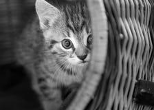 Behandla som ett barn lite katten i korg Royaltyfri Foto