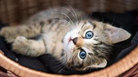 Behandla som ett barn lite katten i korg Arkivfoton