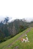 Behandla som ett barn llamaen på Machu Picchu. Peru Arkivfoto