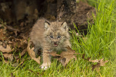 Behandla som ett barn lodjuret Kitten Meowing Royaltyfri Fotografi
