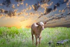 Behandla som ett barn Longhornkalven Royaltyfria Foton