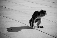 behandla som ett barn macacoen Arkivfoto