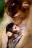 behandla som ett barn macaquemodern Royaltyfri Fotografi