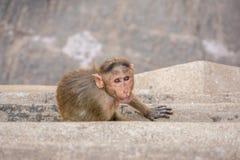 behandla som ett barn macaquen Royaltyfri Bild