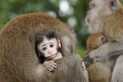 Behandla som ett barn macaquen som ansas Arkivbild