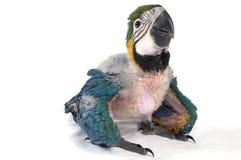 behandla som ett barn macawen Arkivbild