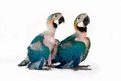 behandla som ett barn macaws två Arkivfoto
