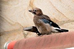 Behandla som ett barn matning för Eurasiannötskrika (Garrulusglandarius) Fotografering för Bildbyråer
