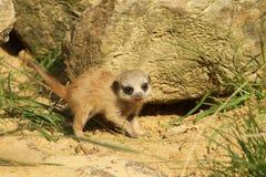 behandla som ett barn meerkat Royaltyfri Fotografi