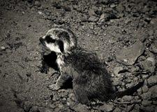 Behandla som ett barn meerkat Arkivfoto