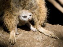 behandla som ett barn meerkat Arkivbild