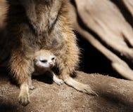 Behandla som ett barn Meerkat som beskyddas av vuxna människan Royaltyfria Bilder