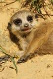 Behandla som ett barn meerkat som lägger på jordningen Royaltyfria Foton
