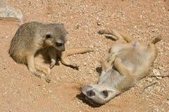 behandla som ett barn meerkats Arkivfoton