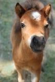 Behandla som ett barn miniatyrhästen Arkivbild