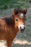 Behandla som ett barn miniatyrhästen Royaltyfri Foto