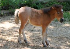 Behandla som ett barn miniatyrhästen Royaltyfri Bild